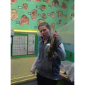 This is a Royal Python (reptile)