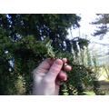 Flower buds on an evergreen yew