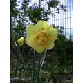 This is a narcissus that we grew!