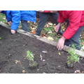 We helped plant this rosemary, too!