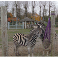The zebras were very hungry.