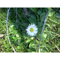 We found a daisy on the school field: it's spring!