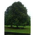 British maple.