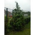 A fir tree - not a Christmas tree!