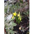 Y2 Daffodils