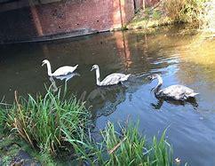 How many swans?