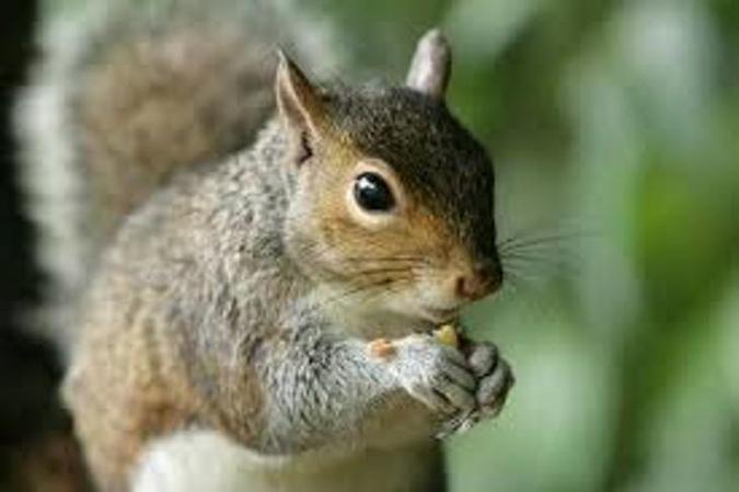 Eats caterpillars, mushrooms and acorns. Squirrels have fur and live babies.