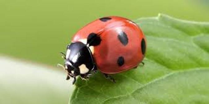 Eats bugs. Ladybirds have six legs and 3 parts that make up their bodies.