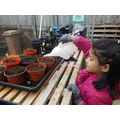 Planting pumpkin & marrow seeds in the greenhouse.