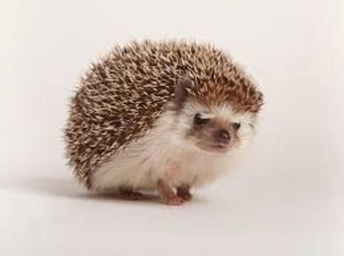 Eats slugs, worms and acorns. Hedgehogs have fur and feed their babies milk.