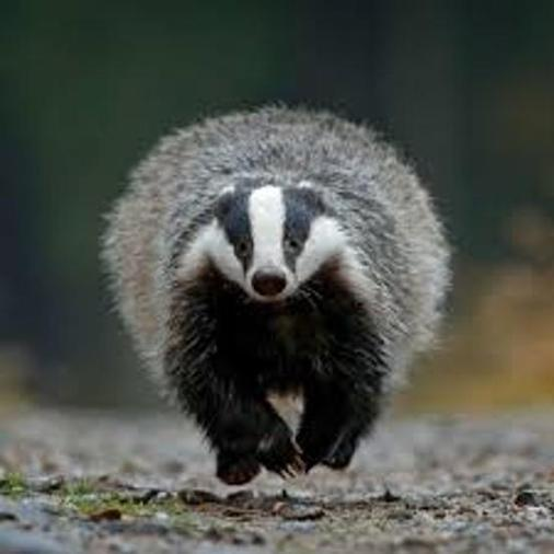 Eats worms, hedgehogs and apples. Badgers have fur and give birth to live babies.