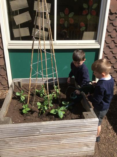 Taking care of our bean plants.