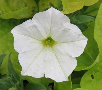 A flower called a petunia.