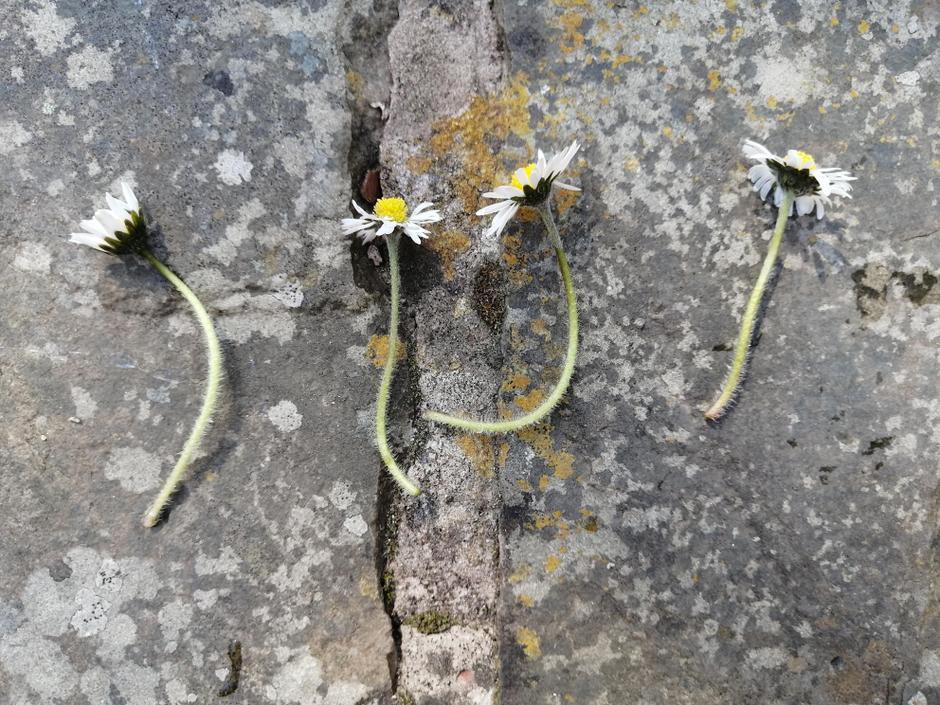 4 daisies