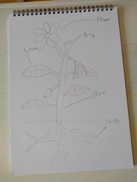 Super writing and drawing of a plant!