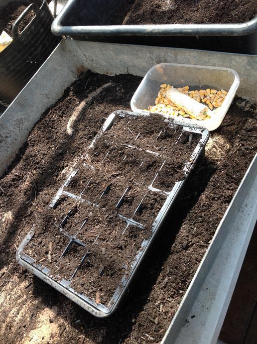 Planting sweetcorn.