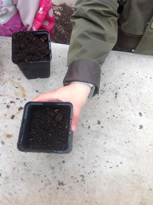 Filling pots with soil then plant the Peas