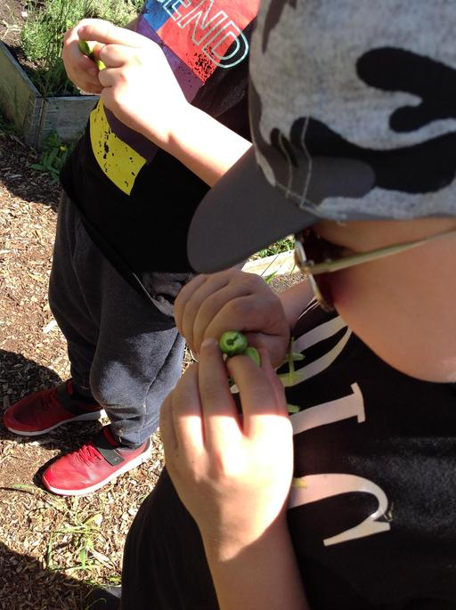 Peeling Broad Beans from their shells.