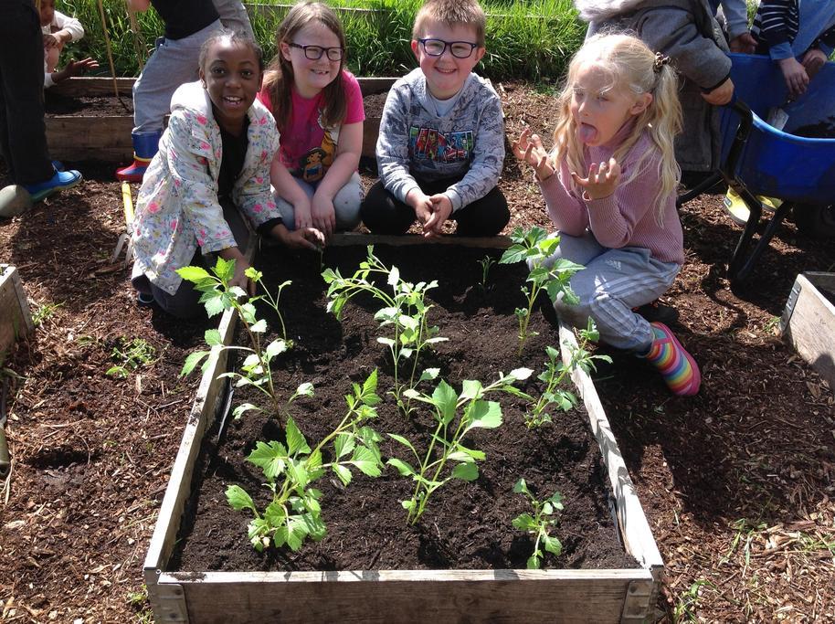 We planted some Dahlias