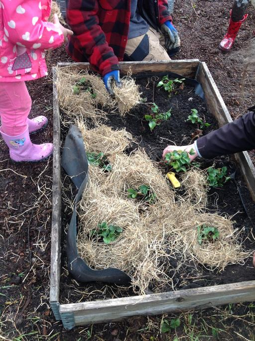 Re-planted Strawberries with straw to keep them warm