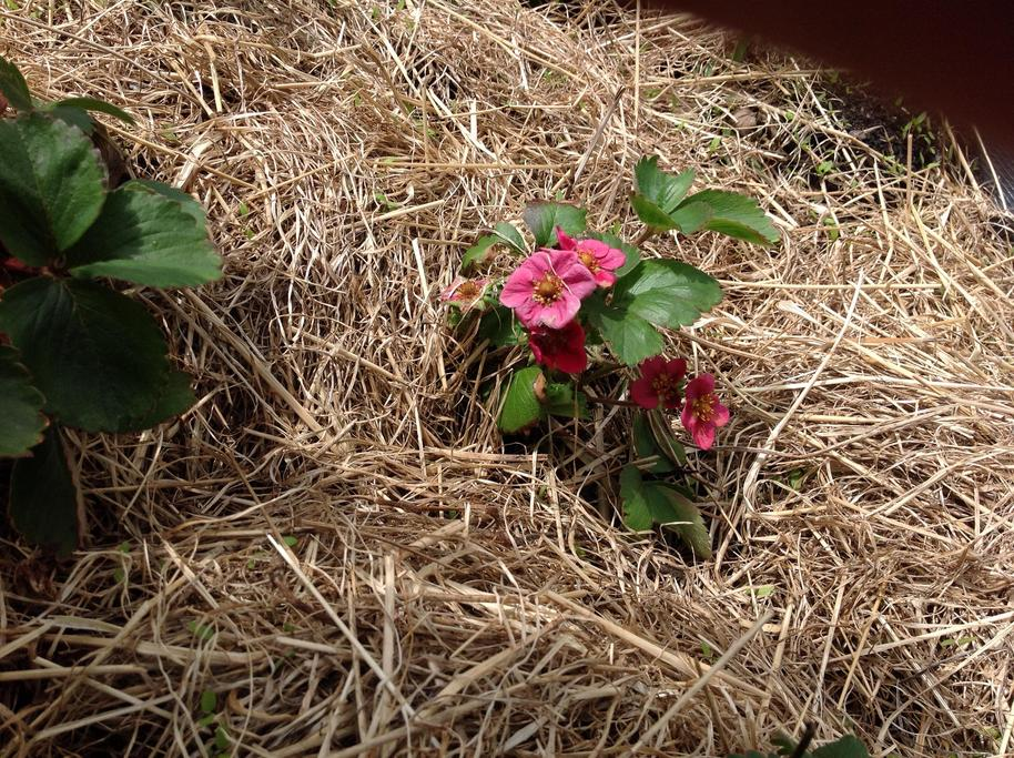 The Strawberry plants are flowering.