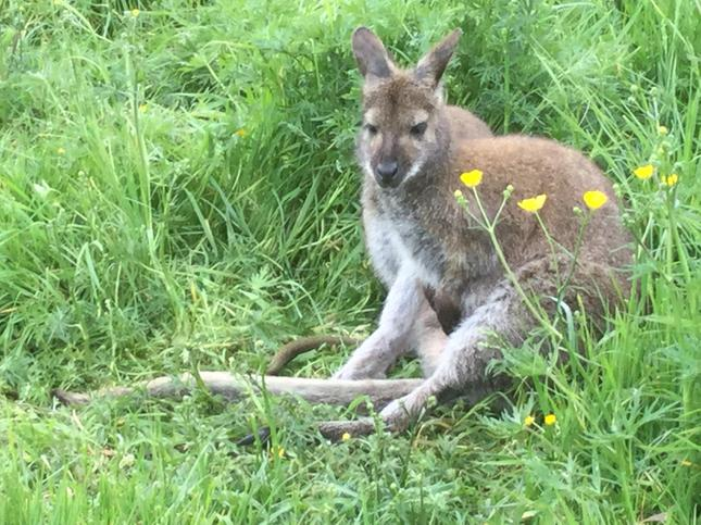 We saw a walllaby with a baby joey in her pouch.