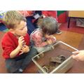 'Sugar Plum' the Tarantula