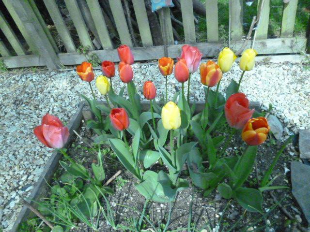 Happy, cheerful tulips