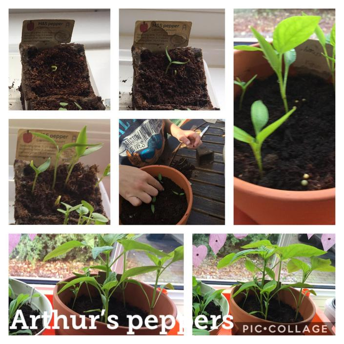 Arthur growing some peppers