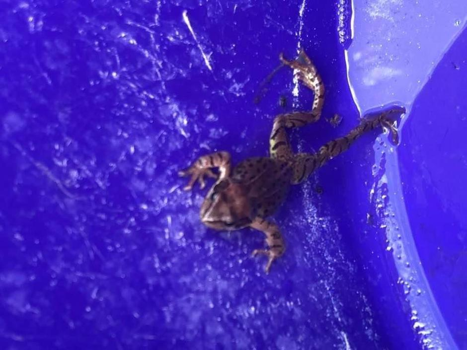 Percy's tadpoles have become frogs!