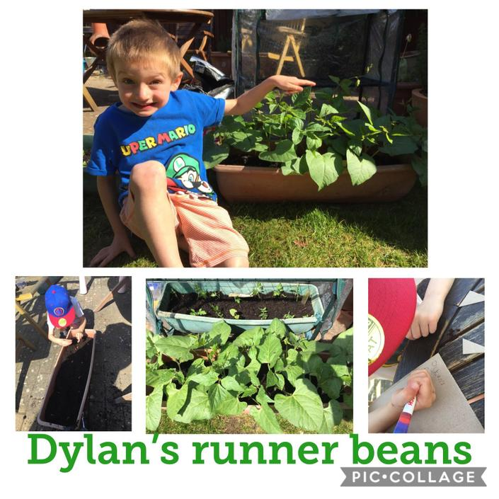 Dylan growing runner beans