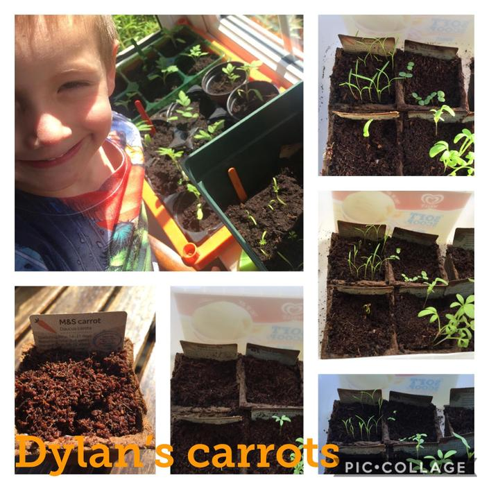 Dylan growing some carrots