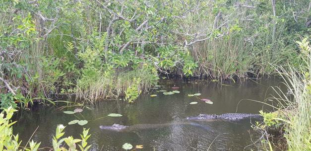Bradley saw some alligators.