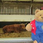 Bradley thought this highland cow was very hairy