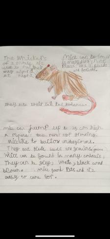 Here is a lovely piece of autumn 1 homework on interesting facts about mice!