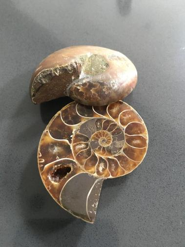 A pair of cut and polished ammonites.jpg