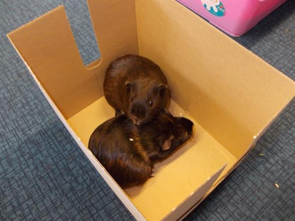The children put the guinea pigs in a box.