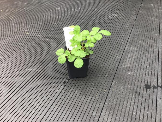 Alisha's own strawberry plant