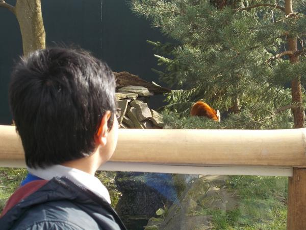 Can you see the red panda in the tree?