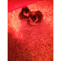 Chicks 1&2 under the lamp