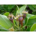 Pears for Autumn's harvest - 24Apri 2017