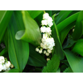 Lilly of the Valley - 09 May 2017