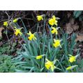 Daffodils - 20 February 2017