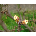 Pear buds waiting to burst 14 March 2017
