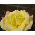 A summer rose -22 May 2017