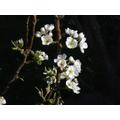 Pear blossom - 03 April 2017