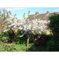 Cherry Blossom - 12 April 2017