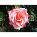 A pink rose - 22 May 2017