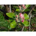 Apple blossom - 03 April 2017