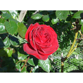 First Rose of the summer - 09 May 2017